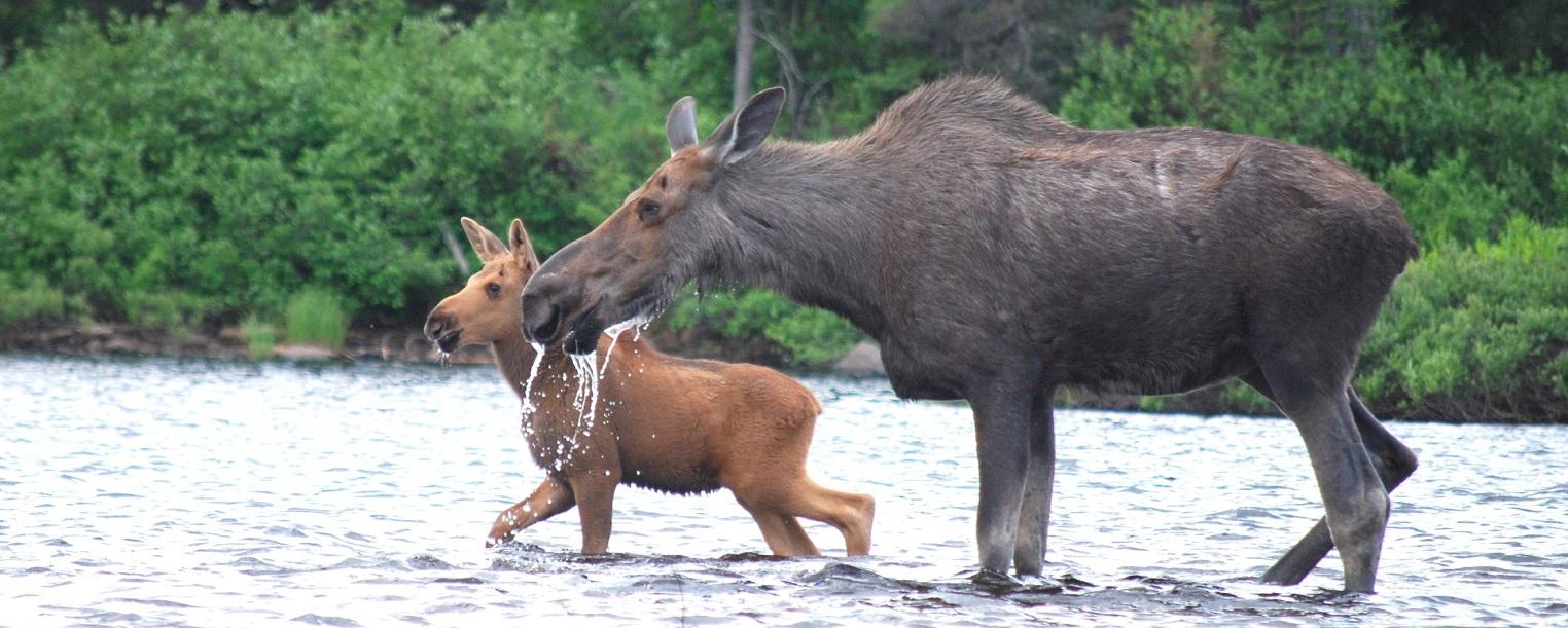 Peche camp caribou1832 611